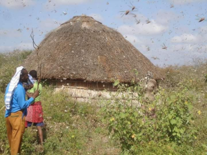 Locust swarm Somalia - Action Against Hunger